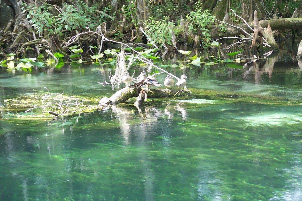 Ocala_Silver_River_birds01-32bb6d90ad