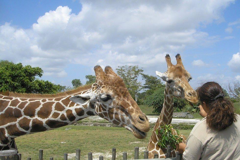 giraffes-69141_1280-1b034b03d2